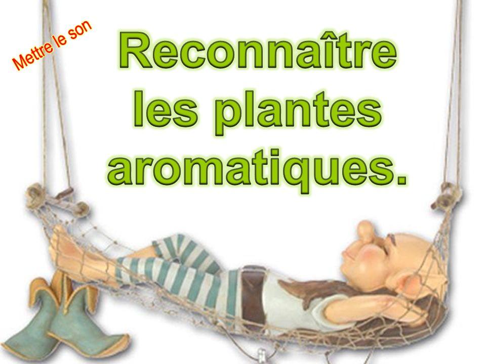 L aneth est une plante de la famille des Apiacées.