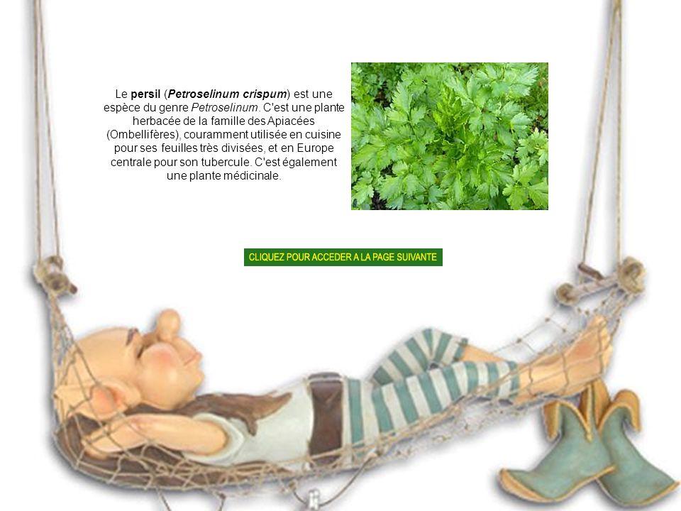 La coriandre (Coriandrum sativum) est une plante herbacée annuelle de la famille des Apiacées (Ombellifères).