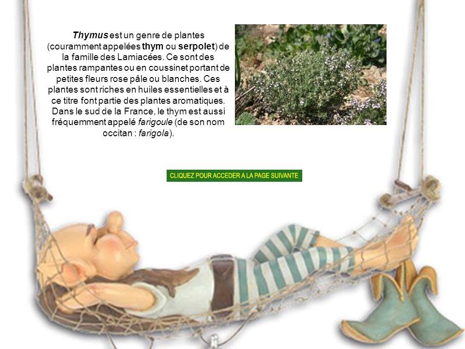 Thymus est un genre de plantes (couramment appelées thym ou serpolet) de la famille des Lamiacées.