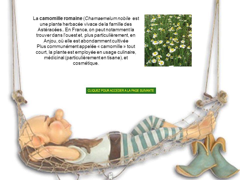 La camomille romaine (Chamaemelum nobile est une plante herbacée vivace de la famille des Astéracées..