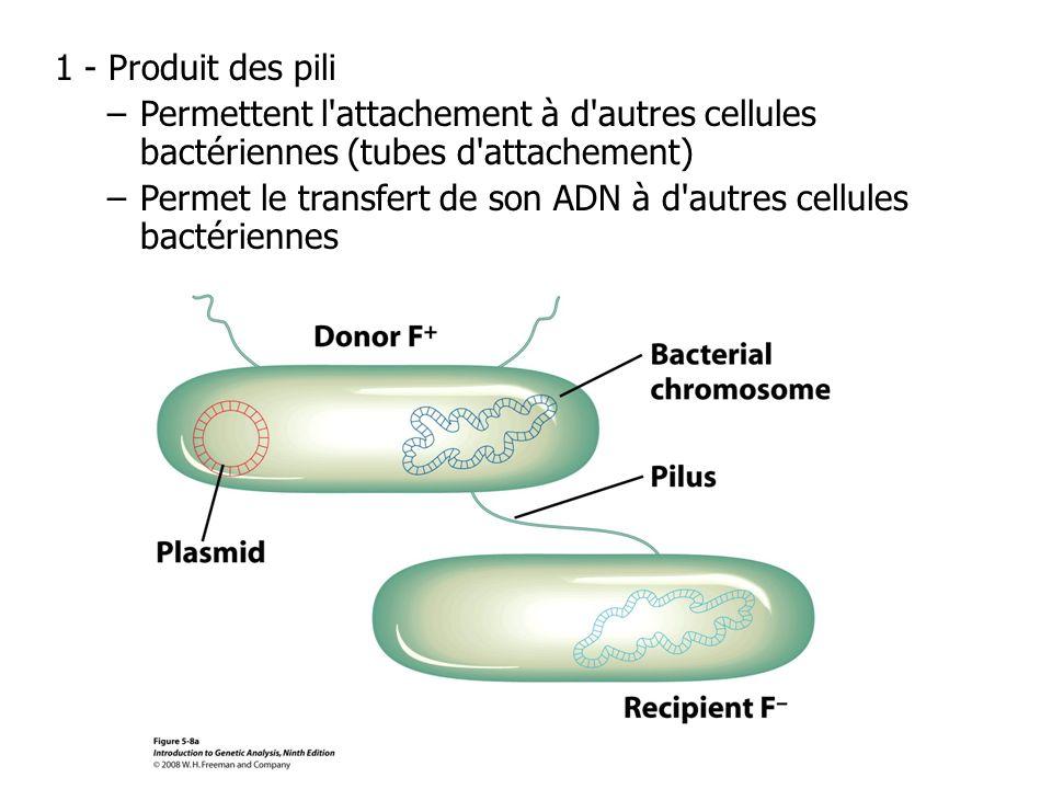 1 - Produit des pili –Permettent l'attachement à d'autres cellules bactériennes (tubes d'attachement) –Permet le transfert de son ADN à d'autres cellu