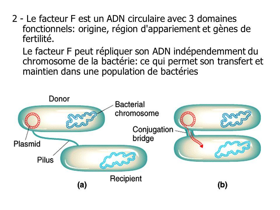 2 - Le facteur F est un ADN circulaire avec 3 domaines fonctionnels: origine, région d'appariement et gènes de fertilité. Le facteur F peut répliquer