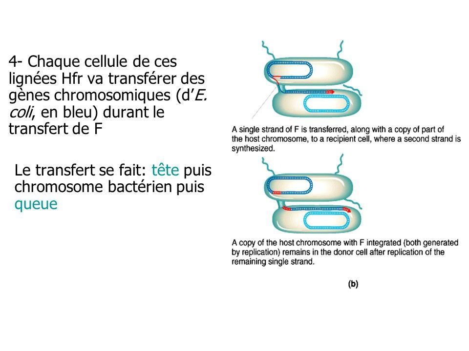 4- Chaque cellule de ces lignées Hfr va transférer des gènes chromosomiques (dE. coli, en bleu) durant le transfert de F Le transfert se fait: tête pu