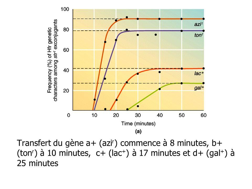 Transfert du gène a+ (azi r ) commence à 8 minutes, b+ (ton r ) à 10 minutes, c+ (lac + ) à 17 minutes et d+ (gal + ) à 25 minutes