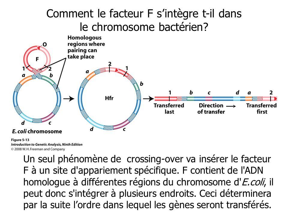 Un seul phénomène de crossing-over va insérer le facteur F à un site d'appariement spécifique. F contient de l'ADN homologue à différentes régions du