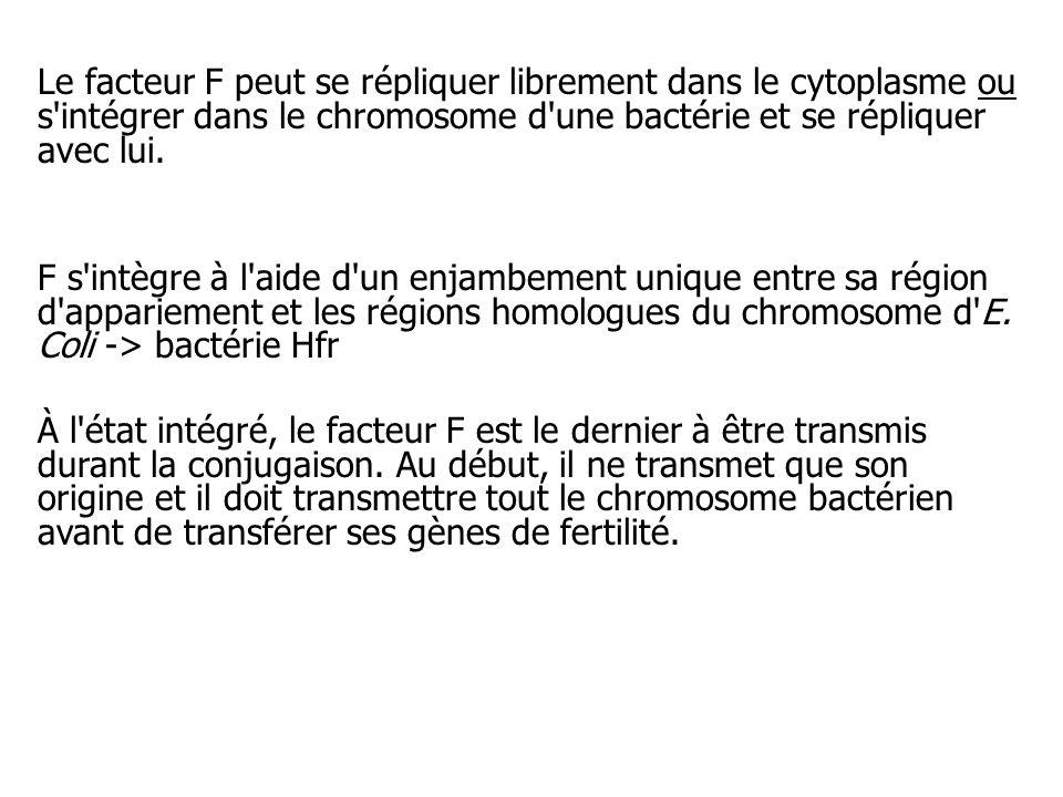 Le facteur F peut se répliquer librement dans le cytoplasme ou s'intégrer dans le chromosome d'une bactérie et se répliquer avec lui. F s'intègre à l'