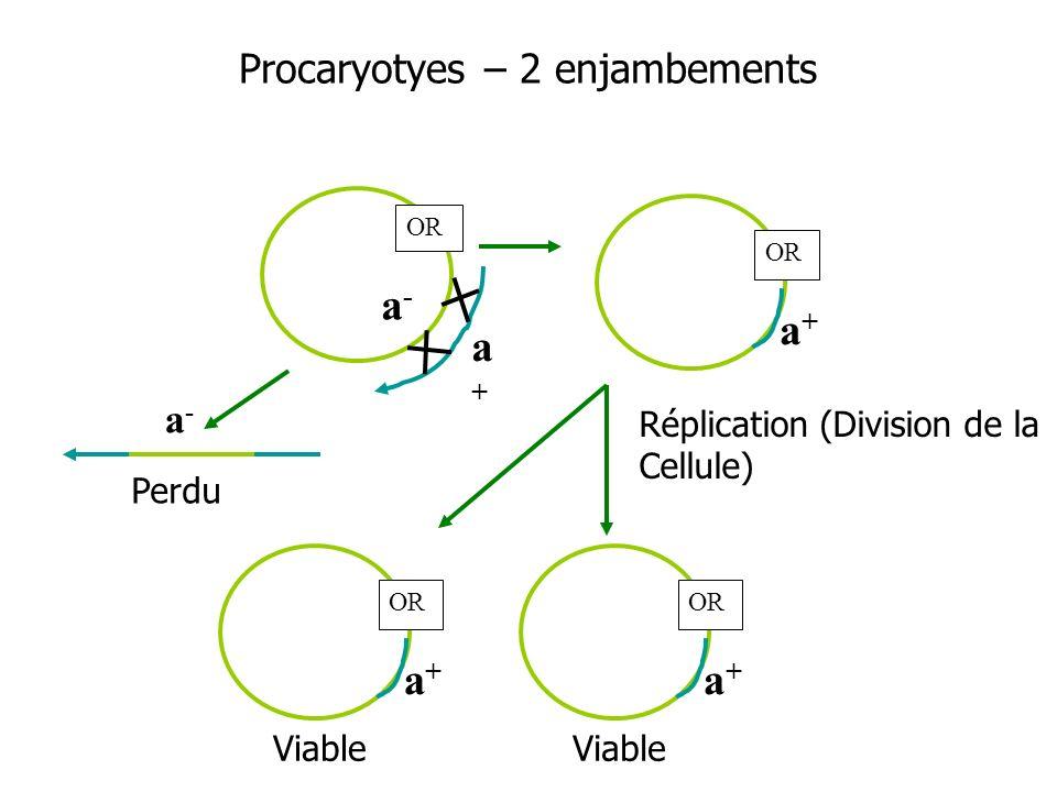 a-a- a+a+ a-a- Réplication (Division de la Cellule) Procaryotyes – 2 enjambements a+a+ OR a+a+ a+a+ Viable Perdu Viable