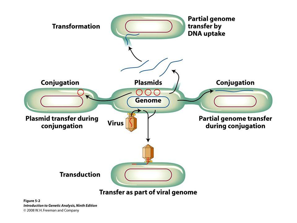 Preuve de transfert –souche A = met-, bio-, thr+, leu+, thi+ –souche B = met+, bio+, thr-, leu-, thi- 1) souche A sur milieu minimal = pas de colonies 2) souche B sur milieu minimal = pas de colonies 3) souches A et B sur milieu minimal = colonies Les souches A et B sont capables de se complémenter Transfert entre souches A et B