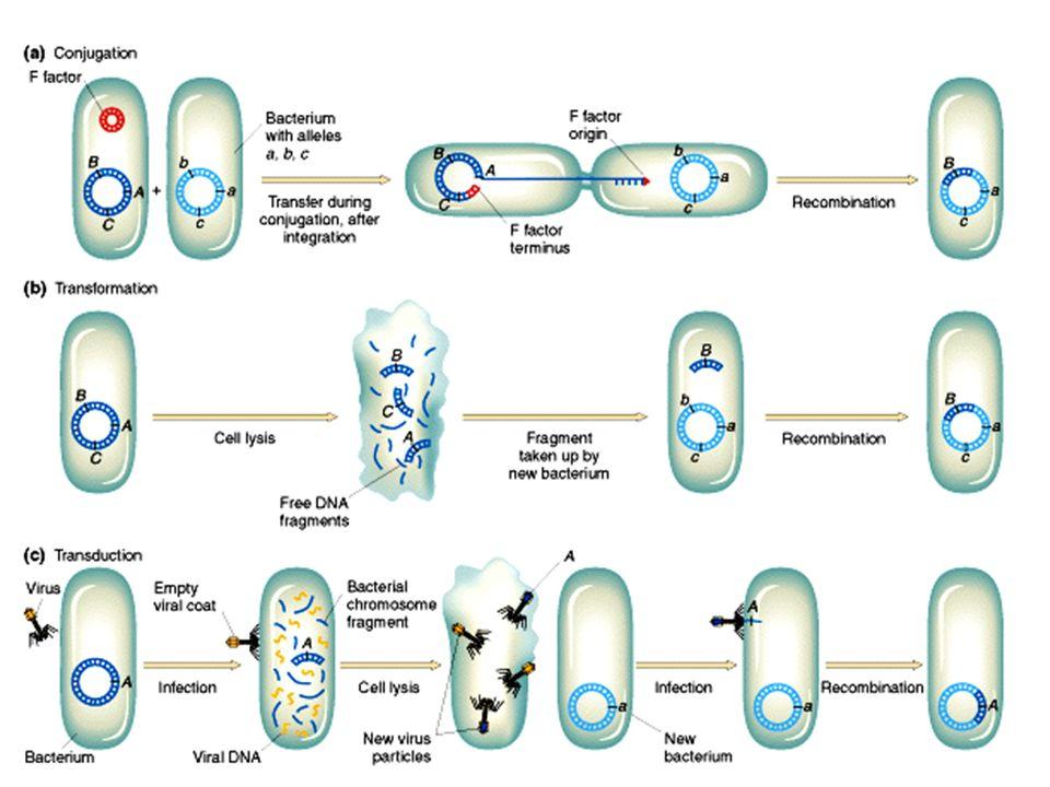 1) Conjugaison Principe: transfert par lintermédiaire dun facteur de fertilité Souches bactériennes : –F- = n ayant pas de facteur F –F+ = ayant un facteur F dans le cytoplasme –Hfr = ayant un facteur F dans le chromosome –F = ayant un facteur F, contenant un ou des gènes bactériens, dans le cytoplasme 2) Transformation Principe: transfert par diffusion dADN dans une cellule bactérienne 3) Transduction Principe: transfert par lintermédiaire dun bactériophage Types: restreinte et généralisée