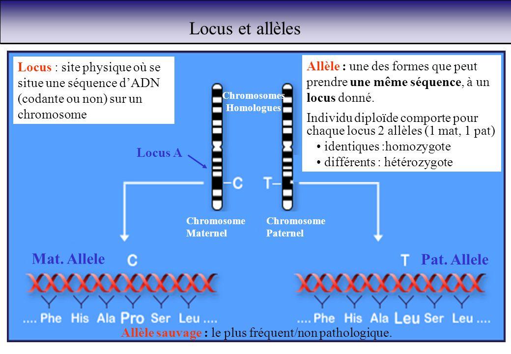 Locus et allèles Locus : site physique où se situe une séquence dADN (codante ou non) sur un chromosome Chromosomes Homologues Allèle : une des formes