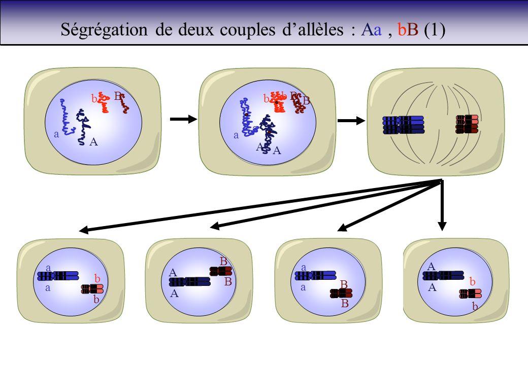 Ségrégation de deux couples dallèles : Aa, bB (1) a A b B a a A A b B b B b b A A b b a a A A B B a a B B