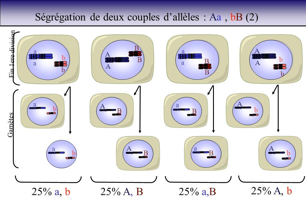 Ségrégation de deux couples dallèles : Aa, bB (2) b b a a A A B B a a B B b b A A 25% a, b25% A, B25% a,B 25% A, b b a b a A B A B a B a B A b b A Fin