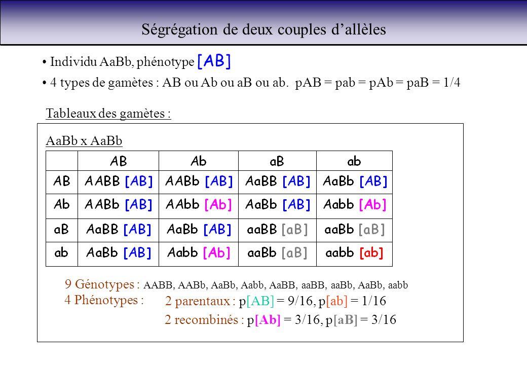 Ségrégation de deux couples dallèles Individu AaBb, phénotype [AB] 4 types de gamètes : AB ou Ab ou aB ou ab. pAB = pab = pAb = paB = 1/4 Tableaux des