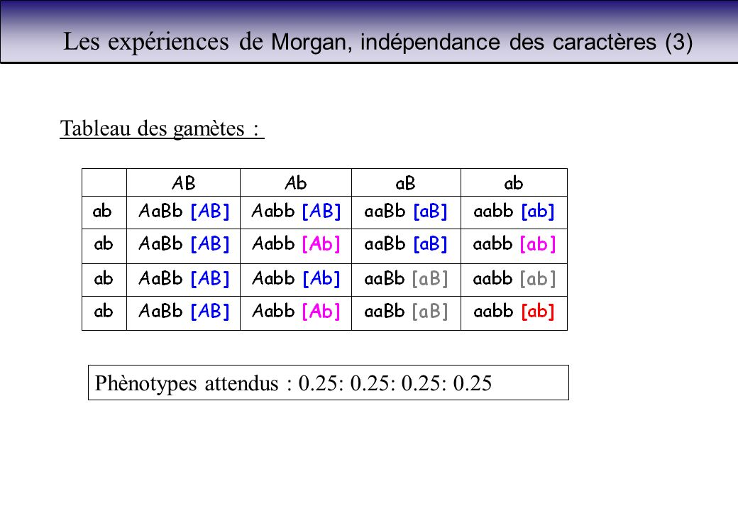 Les expériences de Morgan, indépendance des caractères (3) Phènotypes attendus : 0.25: 0.25: 0.25: 0.25 Tableau des gamètes :