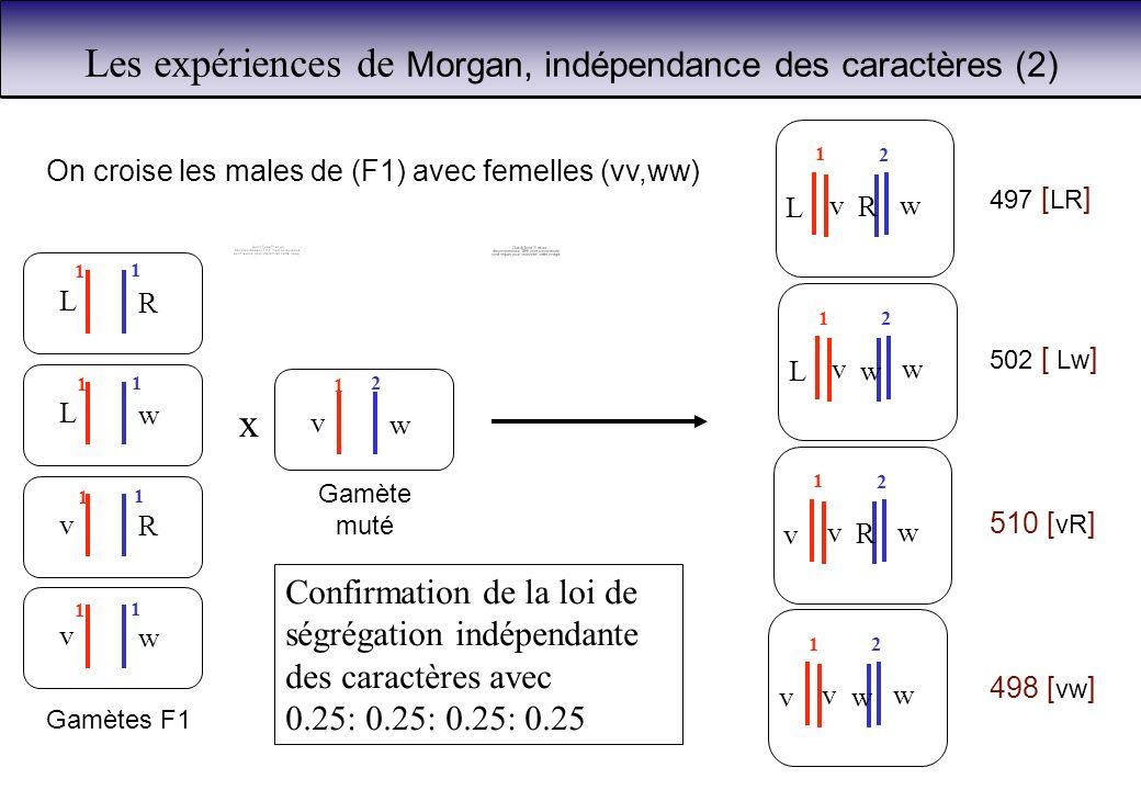 On croise les males de (F1) avec femelles (vv,ww) x L R L w v R v w Gamètes F1 1 1 1 1 1 1 1 1 v w Gamète muté 1 2 L wv R 1 2 L wv w 1 2 v wv R 1 2 v