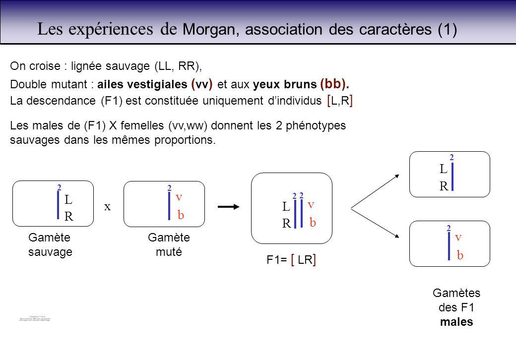 Les expériences de Morgan, association des caractères (1) On croise : lignée sauvage (LL, RR), Double mutant : ailes vestigiales ( vv ) et aux yeux br
