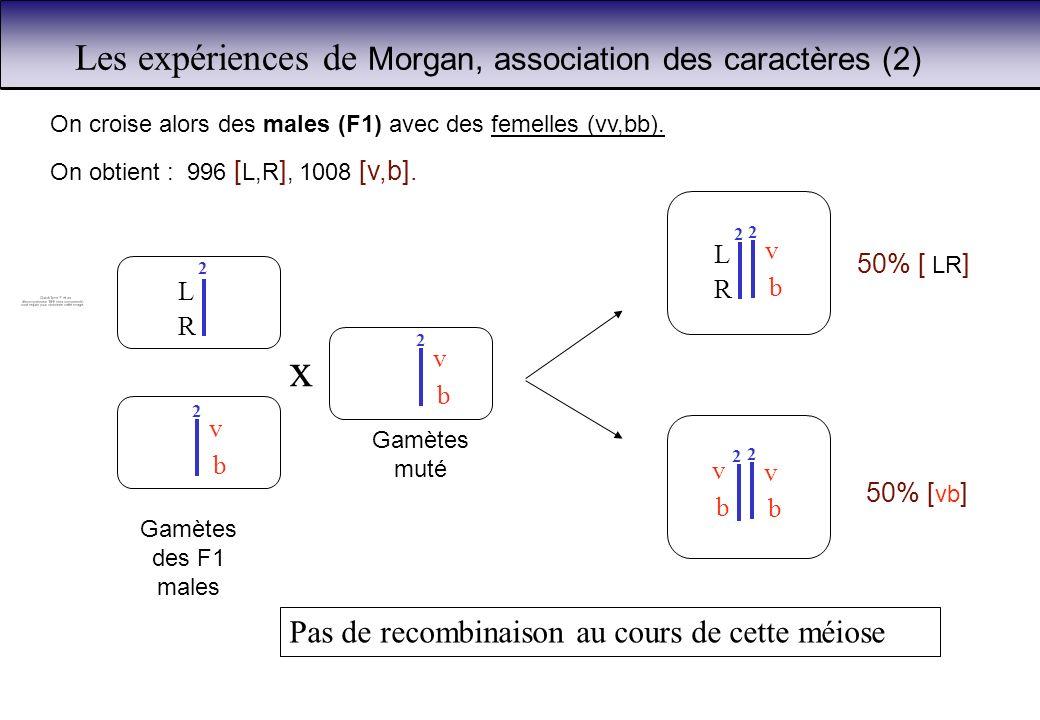 Les expériences de Morgan, association des caractères (2) b v 2 L 2 R b v 2 2 b v 50% [ LR ] 50% [ vb ] On croise alors des males (F1) avec des femell