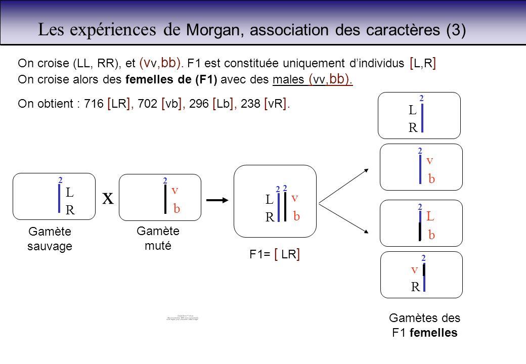Les expériences de Morgan, association des caractères (3) On croise (LL, RR), et (v v,bb). F1 est constituée uniquement dindividus [ L,R ] On croise a