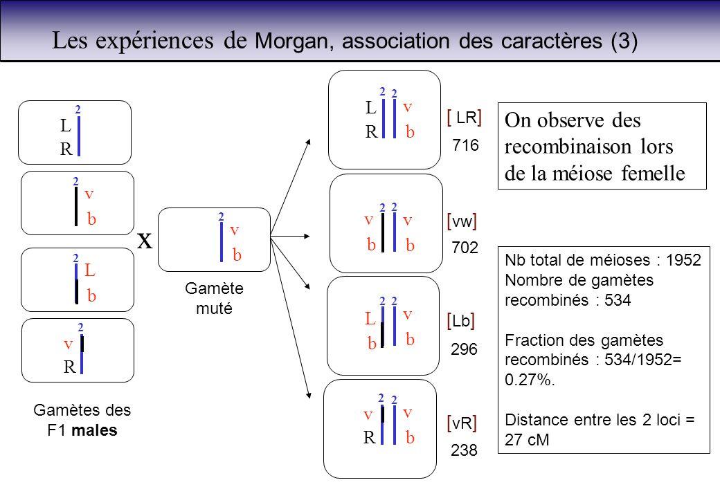 b L 2 v 2 R Gamètes des F1 males L 2 R b v 2 b v x Gamète muté 2 Les expériences de Morgan, association des caractères (3) [ Lb ] [ vR ] [ LR ] [ vw ]
