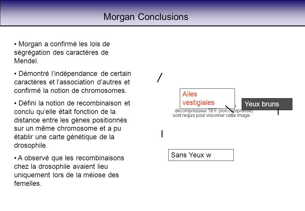 Morgan Conclusions Morgan a confirmé les lois de ségrégation des caractères de Mendel. Démontré lindépendance de certain caractères et lassociation da