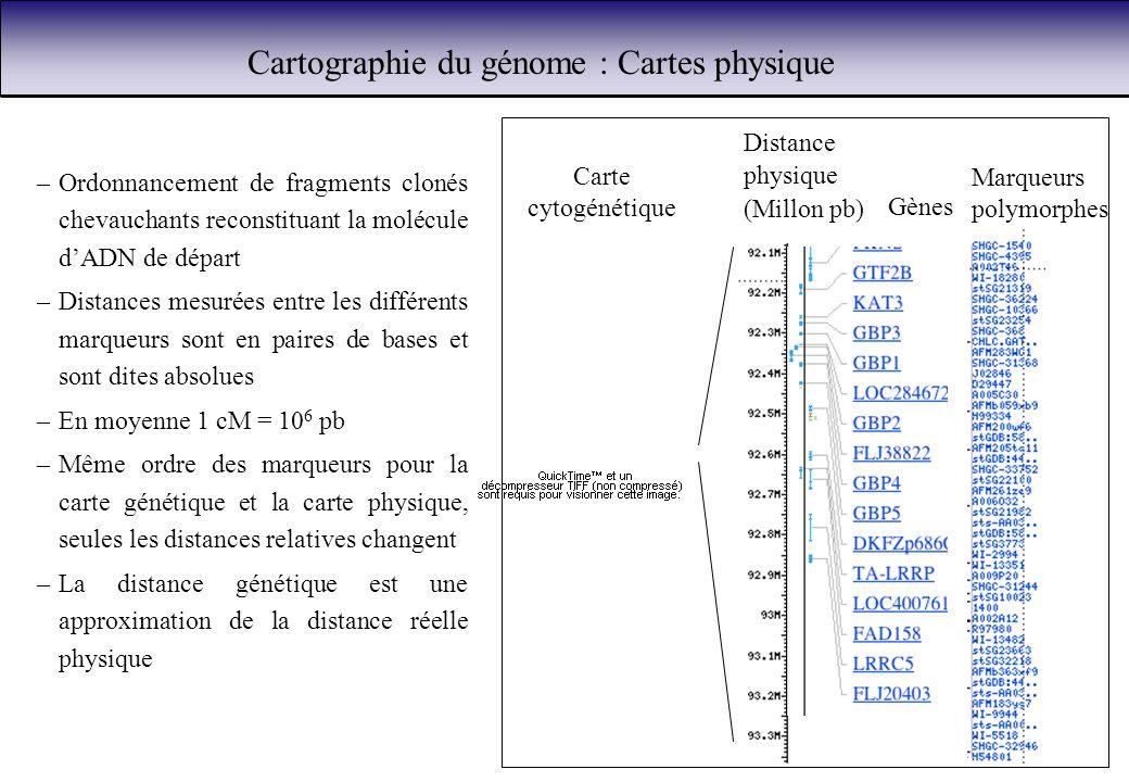 Cartographie du génome : Cartes physique Marqueurs polymorphes Distance physique (Millon pb) Gènes Carte cytogénétique –Ordonnancement de fragments cl