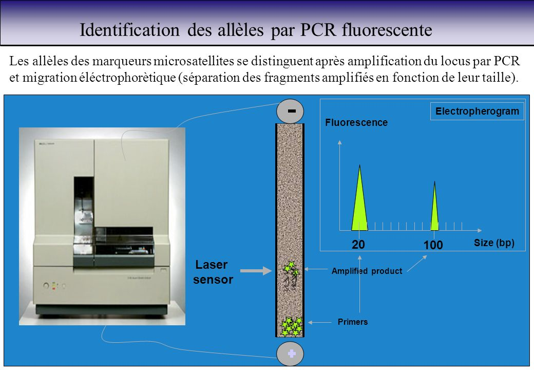 Identification des allèles par PCR fluorescente Primers Laser sensor Amplified product Fluorescence Size (bp) 100 20 Electropherogram Les allèles des