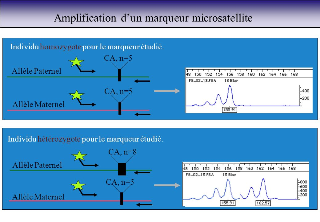Amplification dun marqueur microsatellite CA, n=5 Allèle Paternel Allèle Maternel Individu homozygote pour le marqueur étudié. CA, n=8 CA, n=5 Allèle