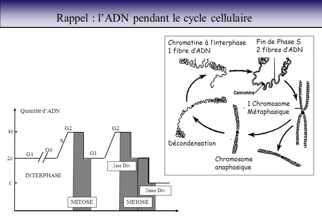 Décondensation Chromatine à linterphase 1 fibre dADN Fin de Phase S 2 fibres dADN 1 Chromosome Métaphasique Chromosome anaphasique Rappel : lADN penda