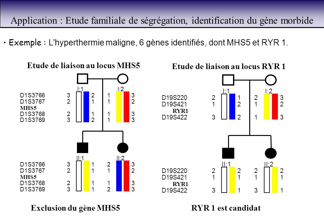 Exemple : L'hyperthermie maligne, 6 gènes identifiés, dont MHS5 et RYR 1. I:1 32 21 21 32 D1S3766 D1S3767 MHS5 D1S3768 D1S3769 I:2 13 12 13 13 II:1 31