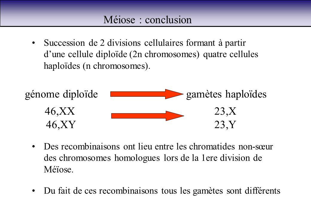 Méiose : conclusion génome diploïdegamètes haploïdes Du fait de ces recombinaisons tous les gamètes sont différents Des recombinaisons ont lieu entre