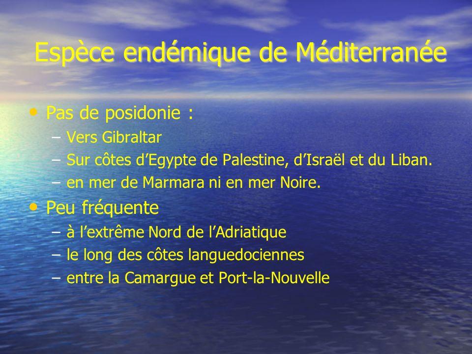 Espèce endémique de Méditerranée Pas de posidonie : – –Vers Gibraltar – –Sur côtes dEgypte de Palestine, dIsraël et du Liban. – –en mer de Marmara ni