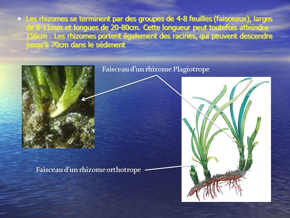 Les rhizomes se terminent par des groupes de 4-8 feuilles (faisceaux), larges de 8-11mm et longues de 20-80cm. Cette longueur peut toutefois atteindre