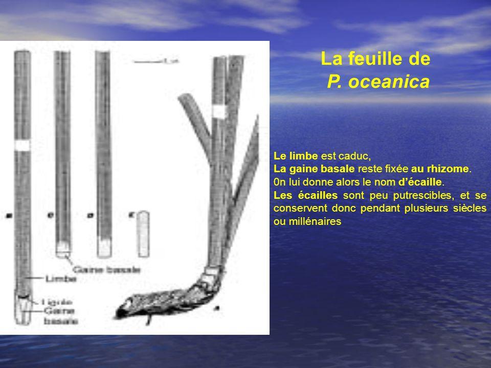 Le limbe est caduc, La gaine basale reste fixée au rhizome. 0n lui donne alors le nom décaille. Les écailles sont peu putrescibles, et se conservent d