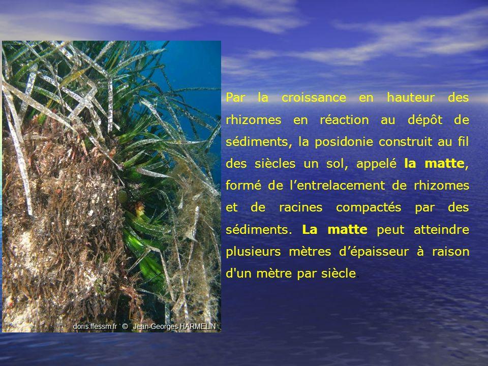 Par la croissance en hauteur des rhizomes en réaction au dépôt de sédiments, la posidonie construit au fil des siècles un sol, appelé la matte, formé