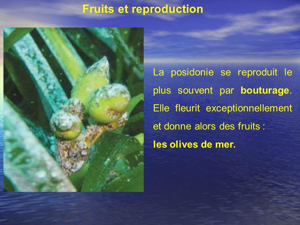 Fruits et reproduction La posidonie se reproduit le plus souvent par bouturage. Elle fleurit exceptionnellement et donne alors des fruits : les olives