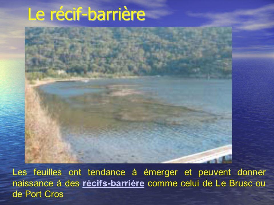 Les feuilles ont tendance à émerger et peuvent donner naissance à des récifs-barrière comme celui de Le Brusc ou de Port Crosrécifs-barrière Le récif-