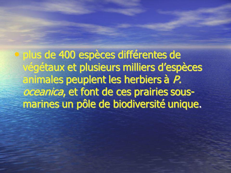 plus de 400 espèces différentes de végétaux et plusieurs milliers despèces animales peuplent les herbiers à P. oceanica, et font de ces prairies sous-
