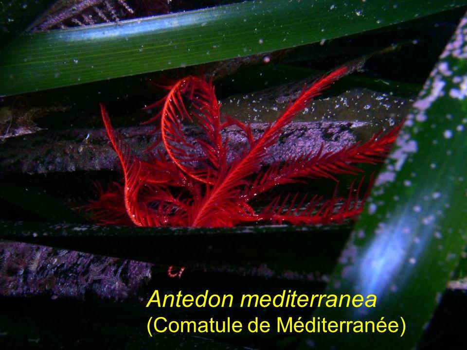 Antedon mediterranea (Comatule de Méditerranée)