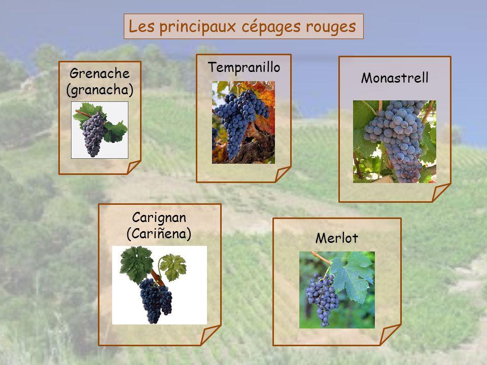 Les principaux cépages rouges Grenache (granacha) Tempranillo Monastrell Merlot Carignan (Cariñena)