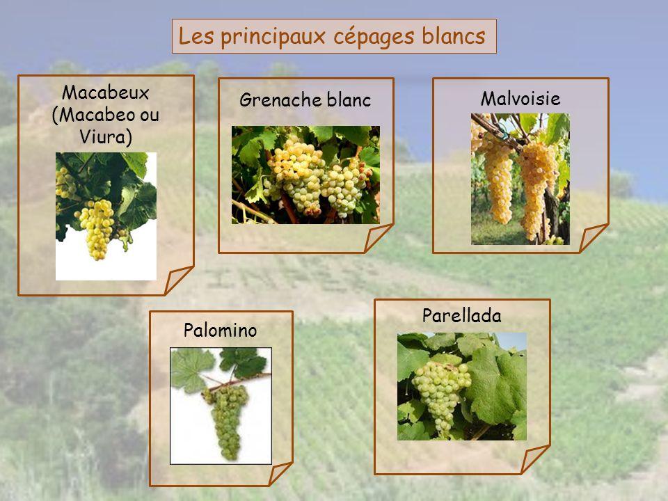 Les principaux cépages blancs Parellada Malvoisie Grenache blanc Macabeux (Macabeo ou Viura) Palomino
