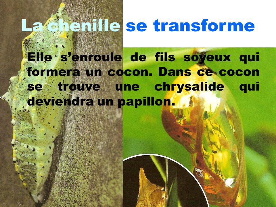La chenille se transforme Elle senroule de fils soyeux qui formera un cocon. Dans ce cocon se trouve une chrysalide qui deviendra un papillon.