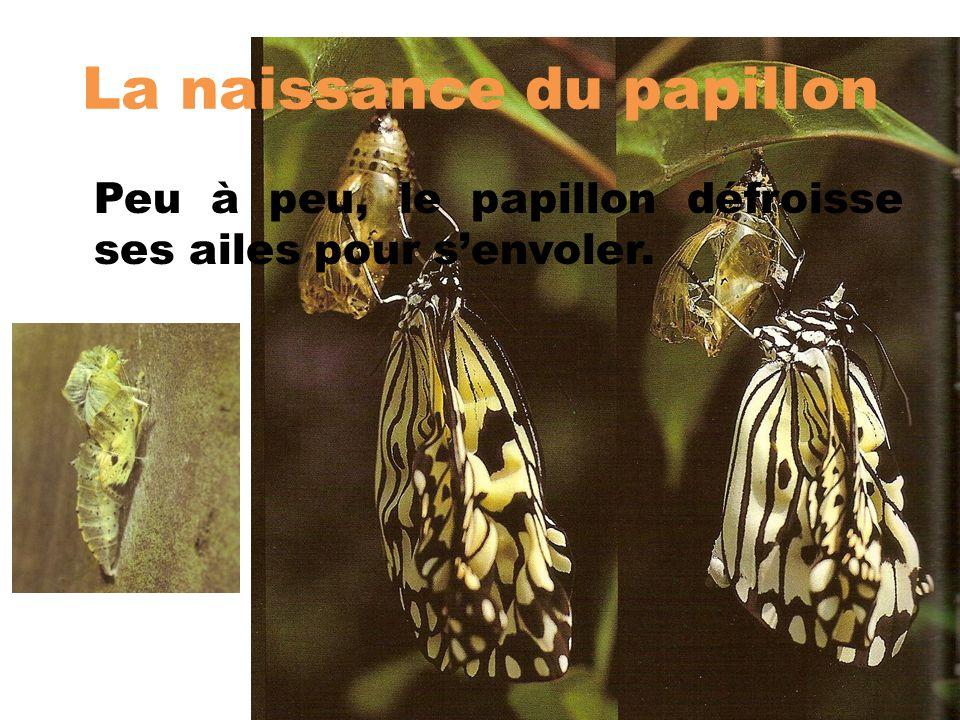 La naissance du papillon Peu à peu, le papillon défroisse ses ailes pour senvoler.