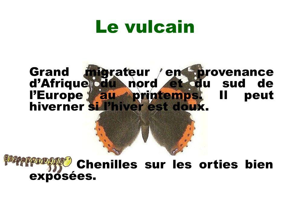 Le vulcain Grand migrateur en provenance dAfrique du nord et du sud de lEurope au printemps. Il peut hiverner si lhiver est doux. Chenilles sur les or