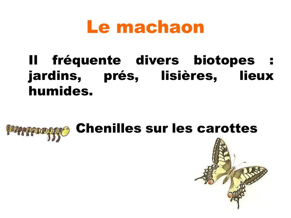 Le machaon Il fréquente divers biotopes : jardins, prés, lisières, lieux humides. Chenilles sur les carottes