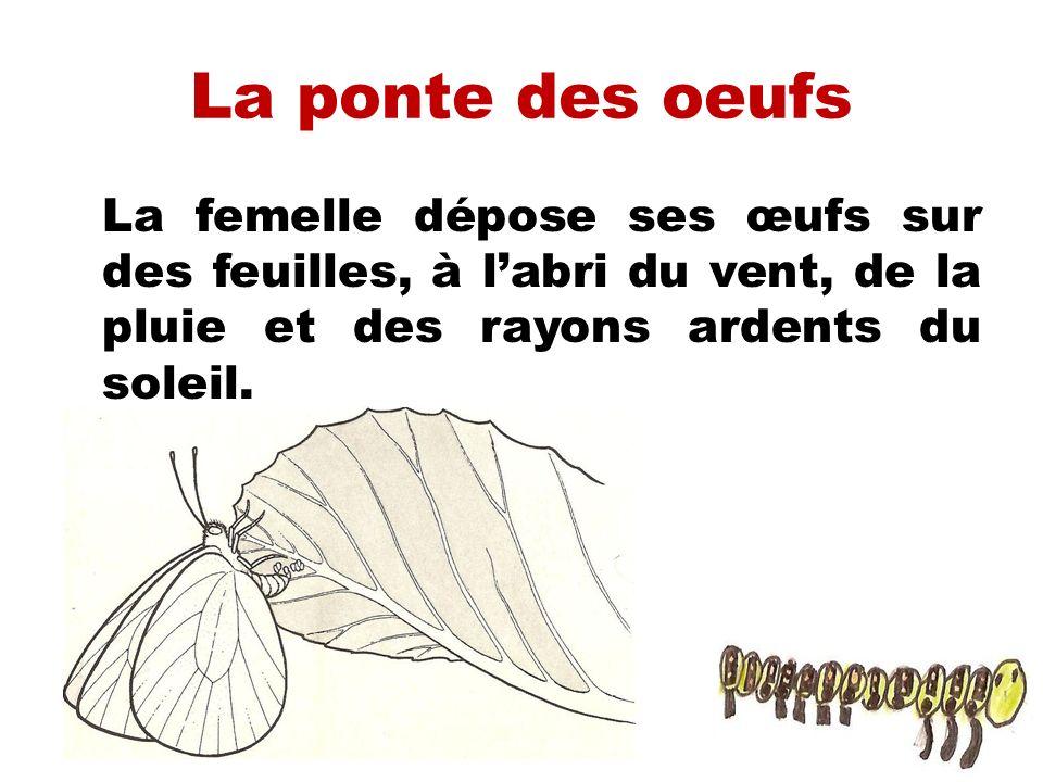 La ponte des oeufs La femelle dépose ses œufs sur des feuilles, à labri du vent, de la pluie et des rayons ardents du soleil.