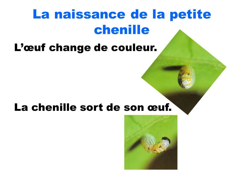 La naissance de la petite chenille Lœuf change de couleur. La chenille sort de son œuf.