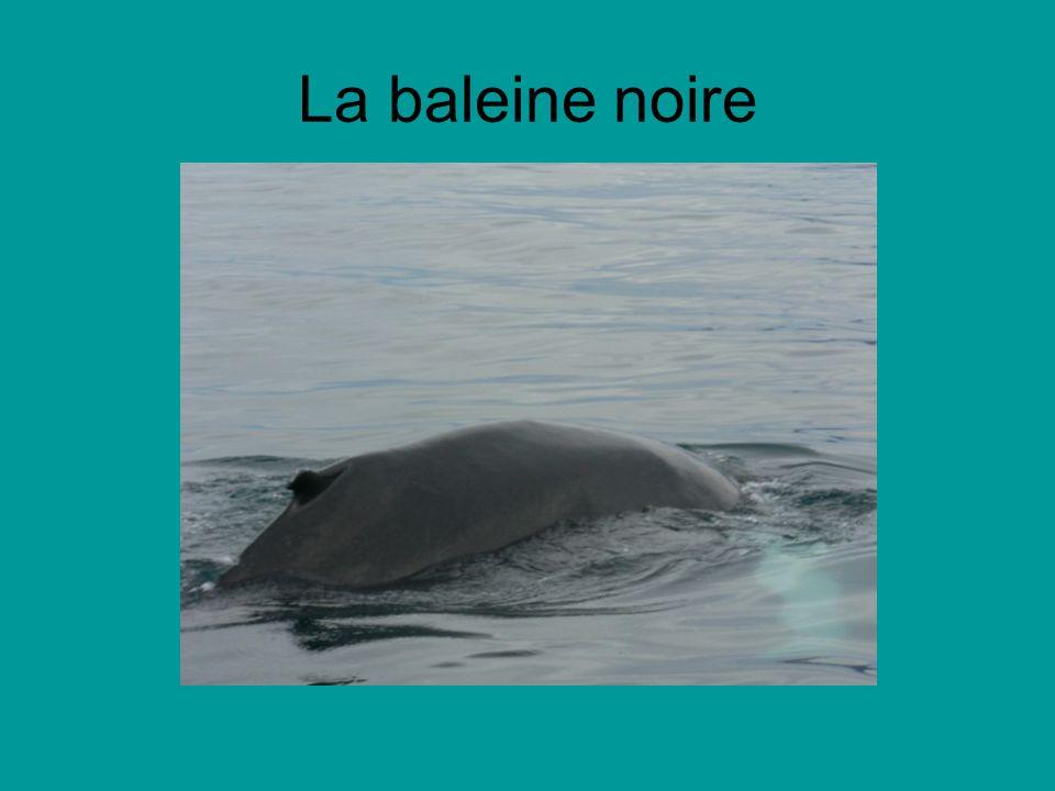 La baleine noire