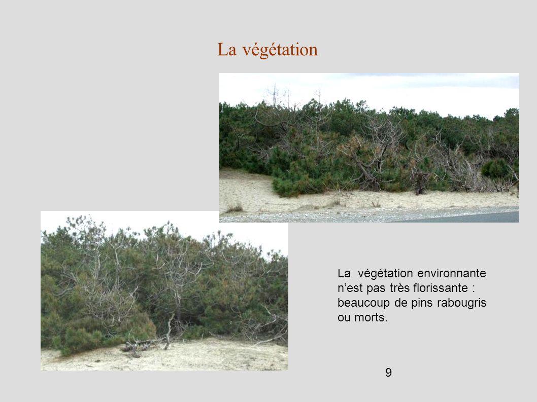 9 La végétation La végétation environnante nest pas très florissante : beaucoup de pins rabougris ou morts.