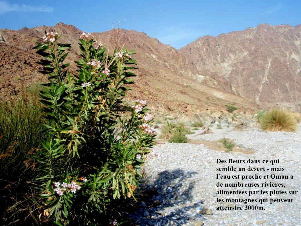 Des fleurs dans ce qui semble un désert - mais l eau est proche et Oman a de nombreuses rivières, alimentées par les pluies sur les montagnes qui peuvent atteindre 3000m.