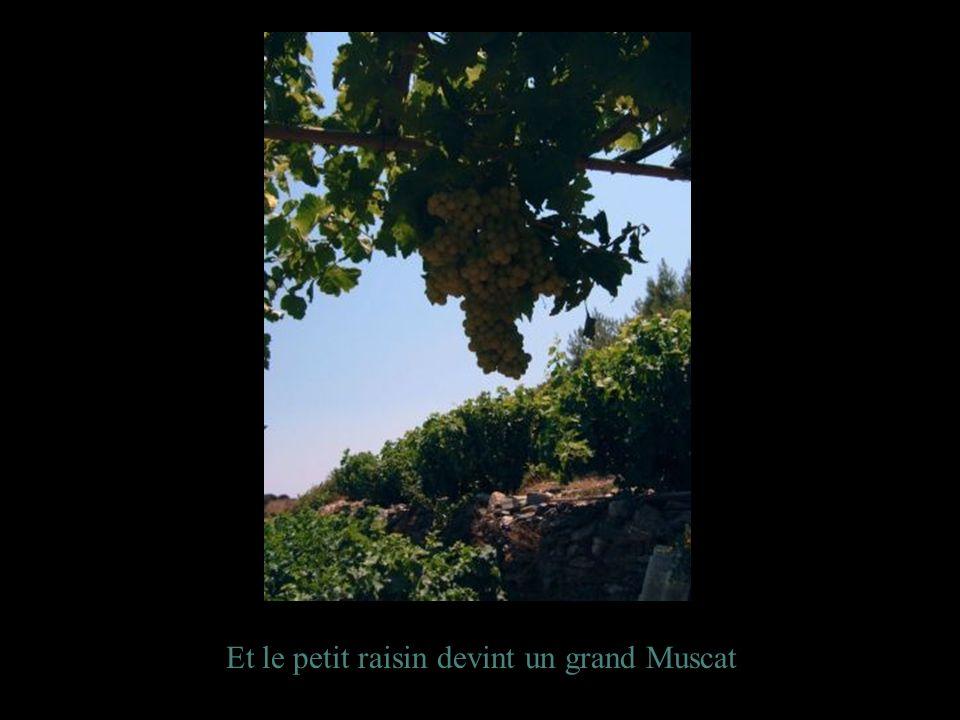 Et le petit raisin devint un grand Muscat